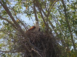 Brahminy Kite on its nest