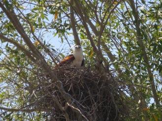 Brahminy Kite on its nest