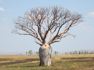 Iconically Kimberley: the baobab