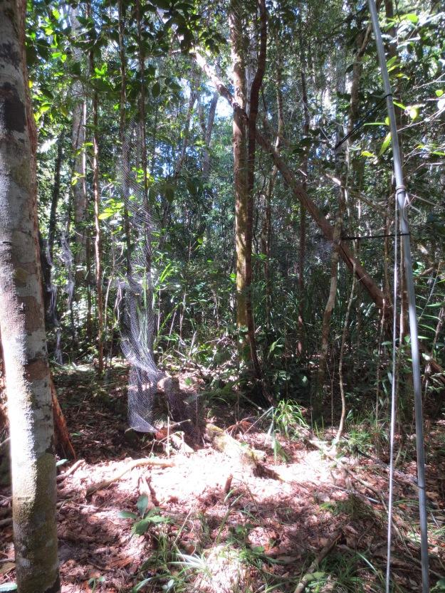 Mist-netting in the rainforest